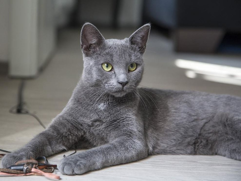 Russian Blue Cat Adored
