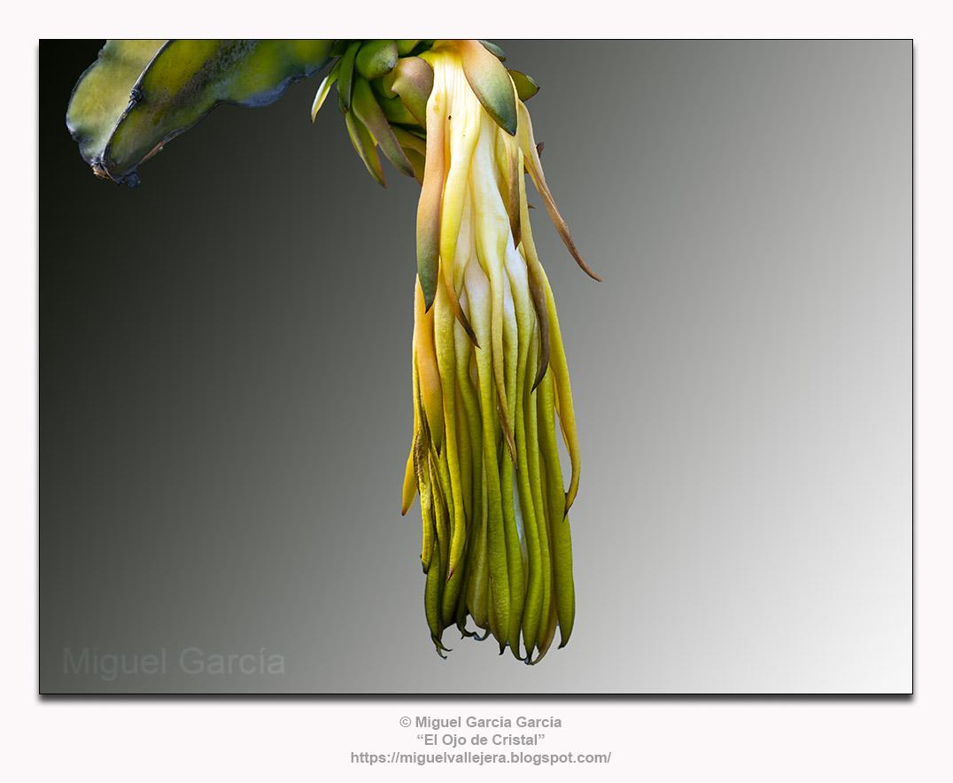 La flor del cactus