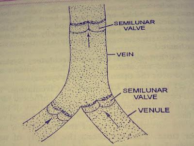 A vein cut open to show valves