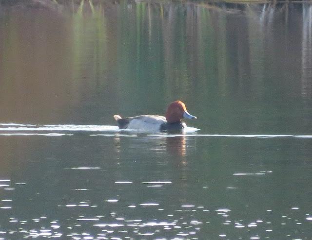 Redhead - Tierra Verde, Florida