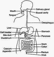 human alimentary canal diagram human body unlabeled diagram
