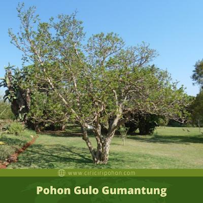 Ciri Ciri Pohon Gulo Gumantung