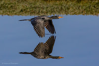Reed Cormorant in Flight - Birds In Flight Photography Cape Town with Canon EOS 7D Mark II  Copyright Vernon Chalmers