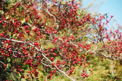 bentuk buah hawthorn berry