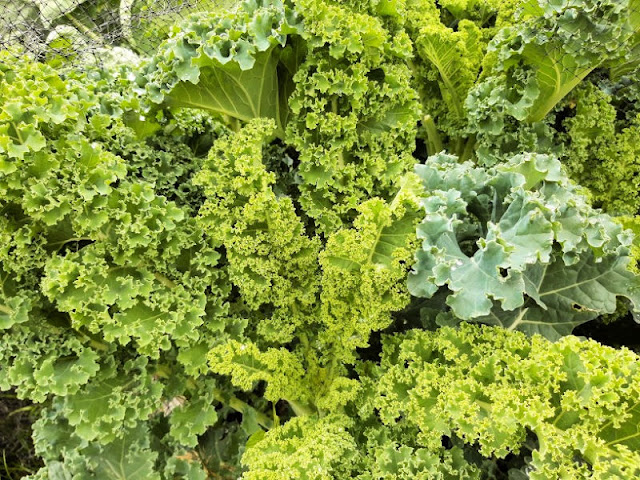 Curly kale leaves in shades of green - bright yellowy-green for the young leaves and dark green for the older leaves