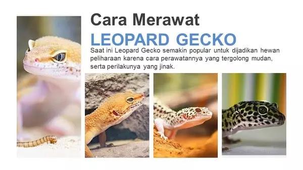 Perawatan Leopard Gecko