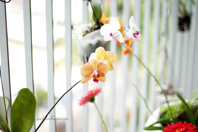 Growing Phalaenopsis orchid in a city balcony
