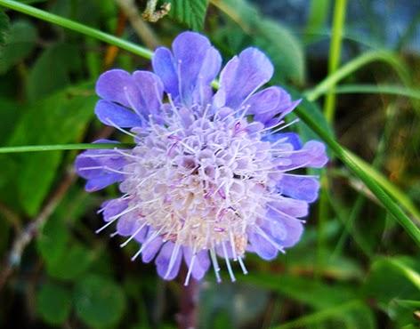Escabiosa lengua de vaca (Knautia arvensis) flor silvestre azul