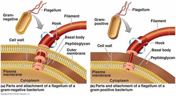 Perbedaan basal flagela pada bakteri gram positif dan negatif