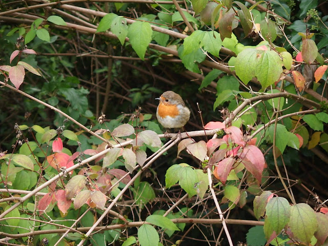 Cheerful robin perches on a branch in our back garden