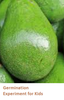 Uses and Benefits of Avocado Seeds or Pits