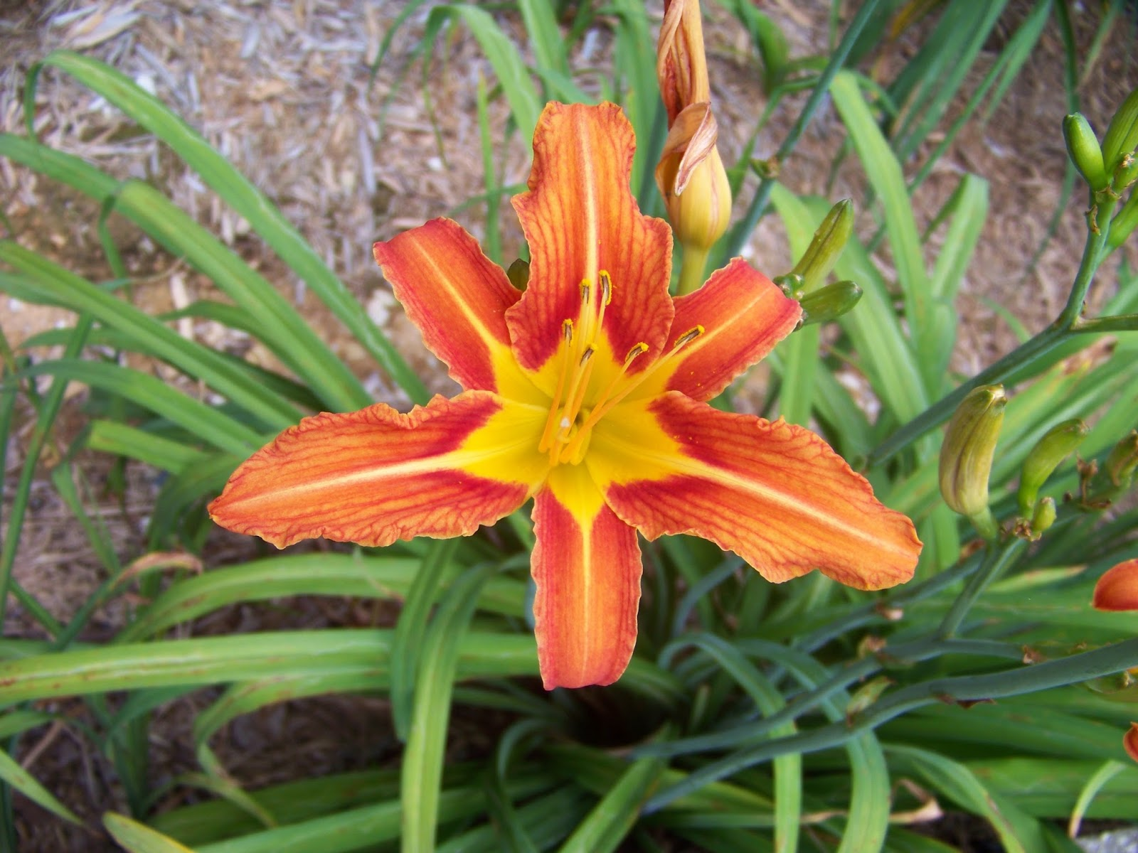Daylilybreeder the daylily as a permaculture subject part 1 the daylily as a permaculture subject part 1 izmirmasajfo