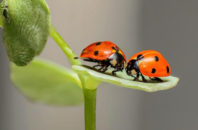 Zwei Marienkäfer nähern sich liebevoll einander an.