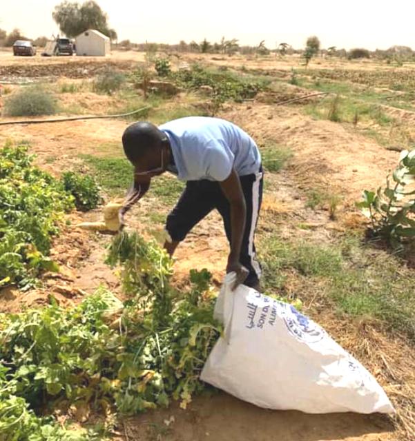 في قريته الأصلية رئيس المنطقة الحرة بنواذيبو يمارس الزراعة..- صور