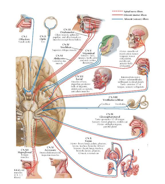 Cranial Nerves (Motor and Sensory Distribution): Schema Anatomy