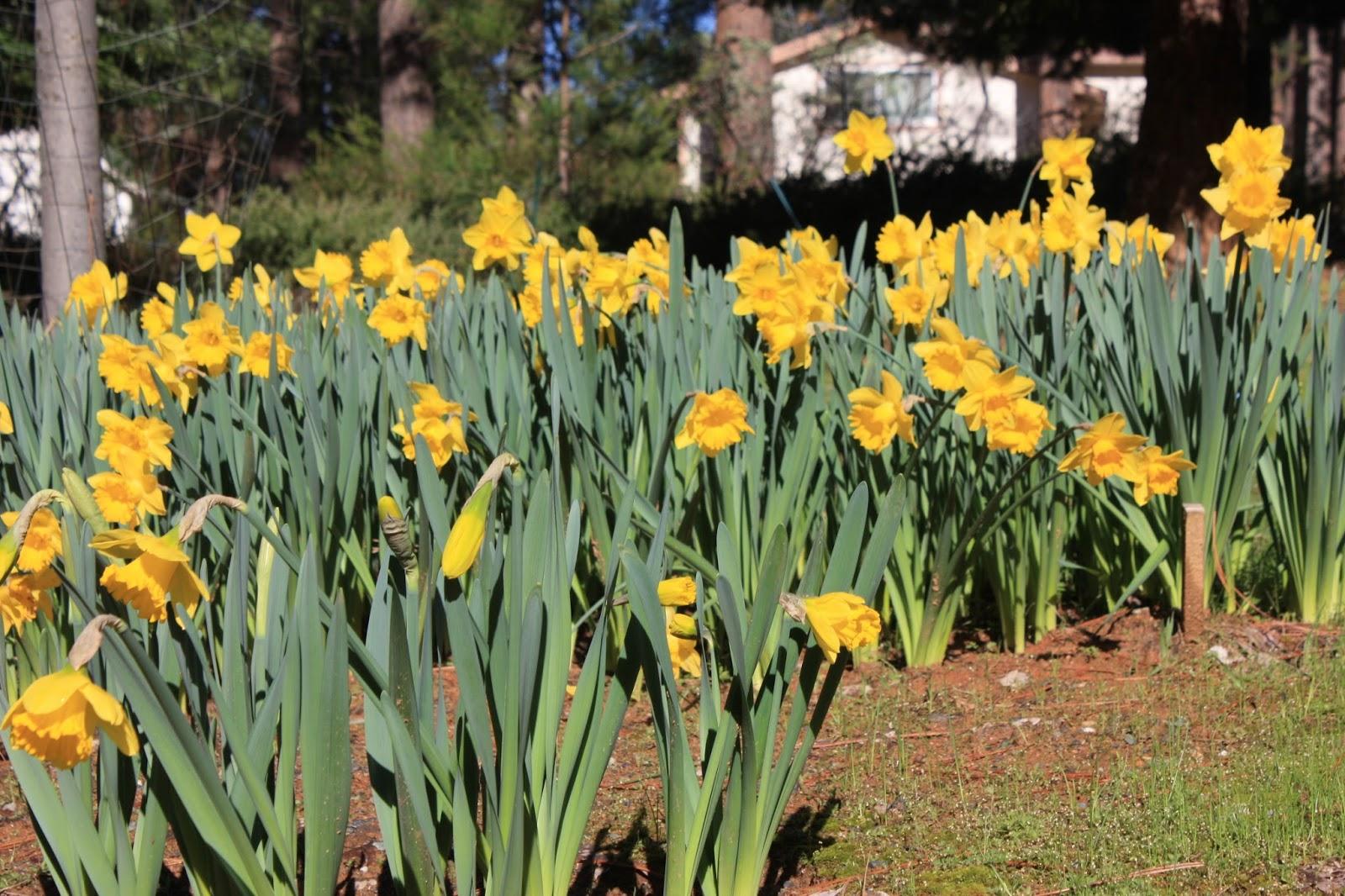 daffodil day - photo #37