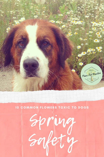Spring safety 10 common flowers that are toxic to dogs
