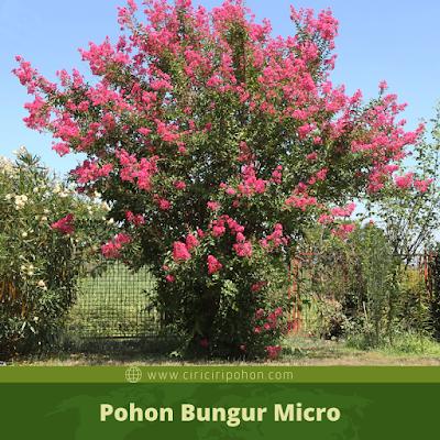 Ciri Ciri Pohon Bungur Micro
