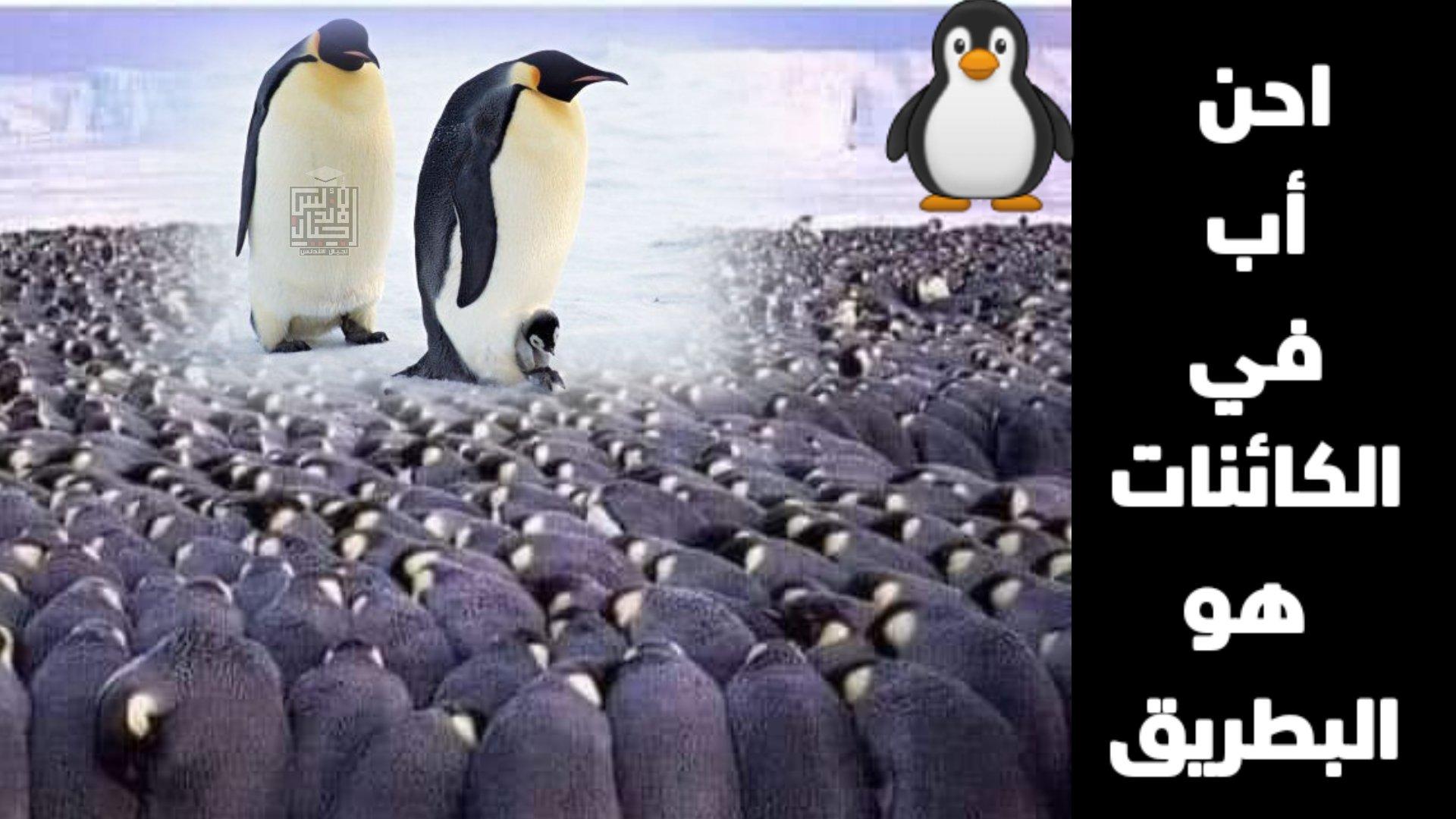 عجائب الحيوانات   احن أب في الكائنات هو البطريق