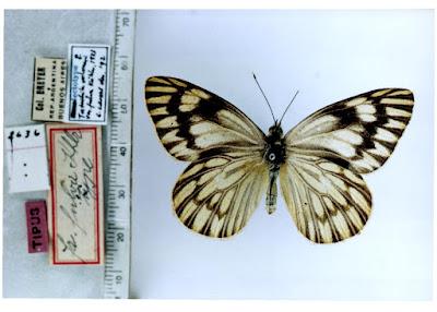 Mariposa lechera troyana (Tatochila vanvolxemii)