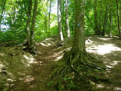 Ein Baum mit vielen freiliegenden Wurzeln. Links von dem Baum führt ein Trampelpfad steil einen Hügel hinauf.