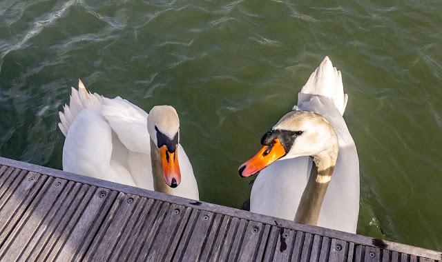 Photo of swans at Maryport Marina