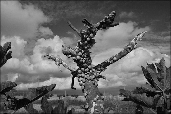 fotografia,naturaleza,caracoles,higuera,fuente_alamo,arbol