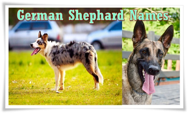 German Shephard dog names