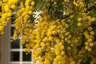 mimosa-acacia-albero-giardino