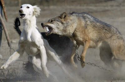 wolf-fight-kazak.jpg