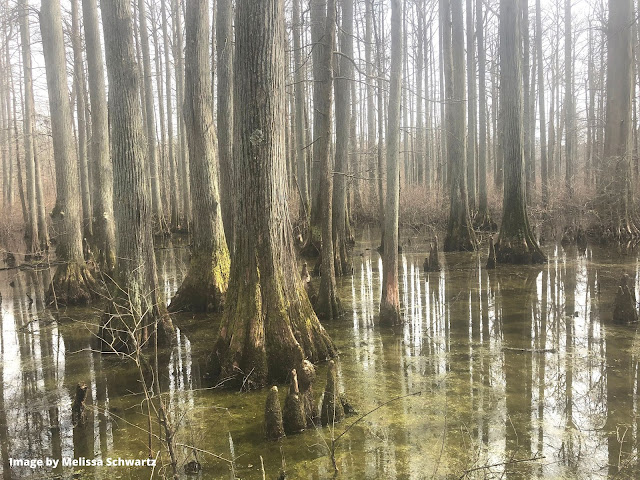 Wandering the world of bald cypress trees in Southern Illinois.