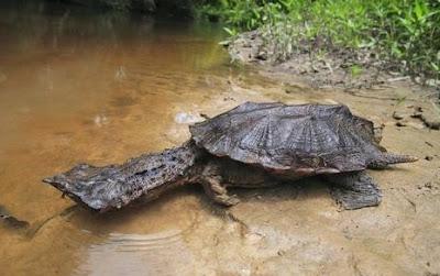 Kura-Kura Mata Mata (Mata Mata Turtle)