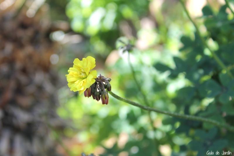 Oxalis pes-caprae en mi jardín
