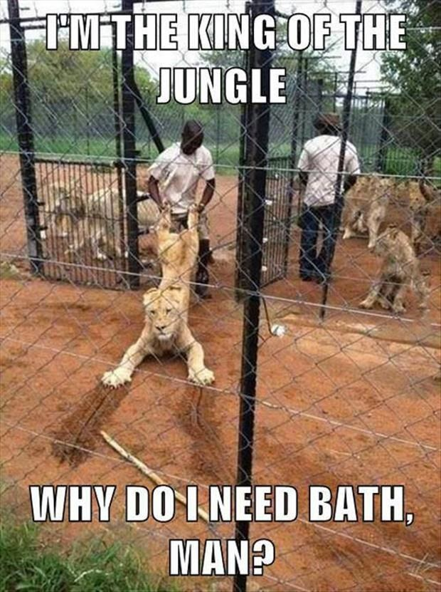 Funny African Lion Bathtime Joke Picture - I'm the king of the jungle... why do I need bath?