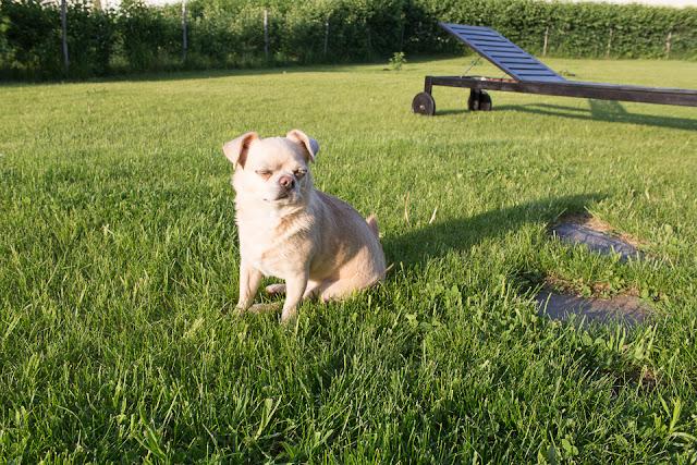 puutarha, piha, aidattu piha, chihuahua, koirat