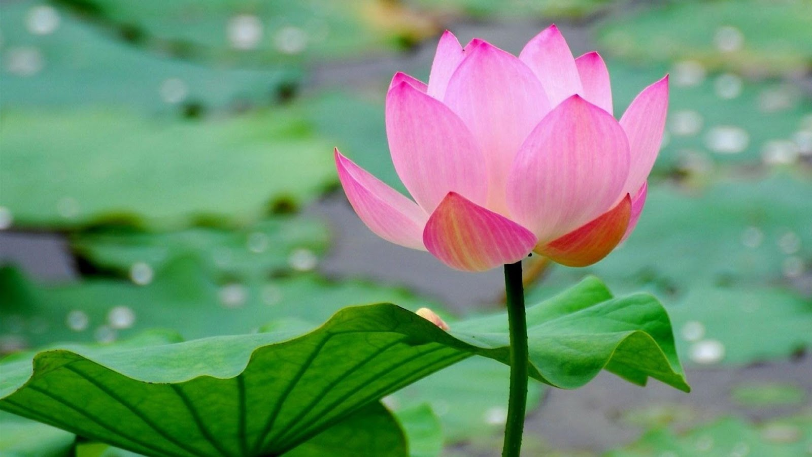 Beautiful lotus flower hd wallpapers and background free downloads beautiful lotus flower hd wallpapers and background free downloads mightylinksfo Choice Image