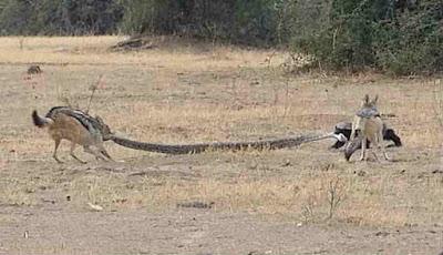Musang vs serigala, berebut ular sanca