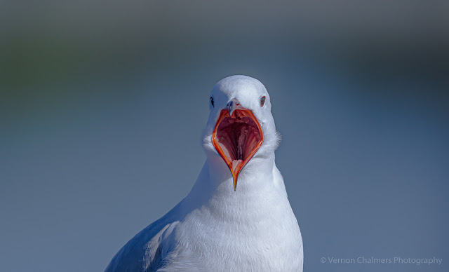 Yawning King Gull on the Wooden Bridge, Woodbridge Island