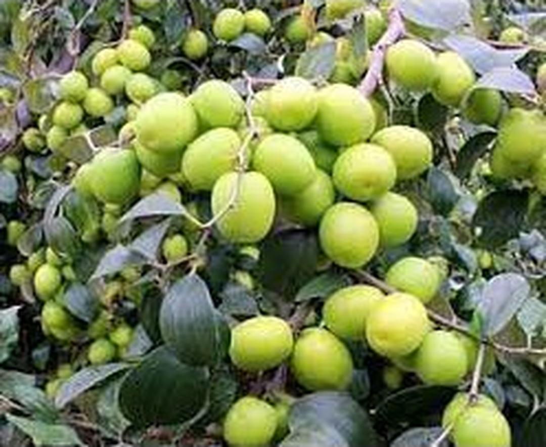 Istimewa! Bibit Buah Apel Putsa Apel India Okulasi Unggulan Cepat Berbuah Kota Bekasi #bibit buah genjah