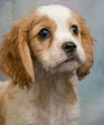 Cockalier (Cavalier King Charles Cocker Spaniel mix) Temperament, Size, Lifespan, Adoption