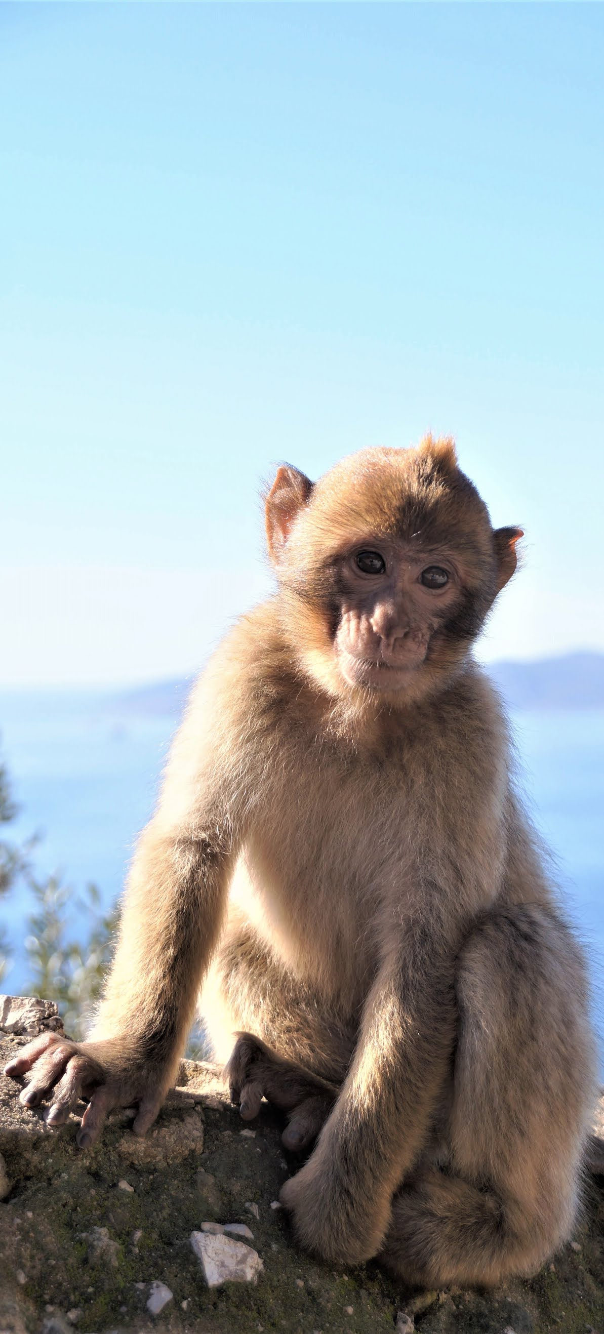Cute young barbary macaque.
