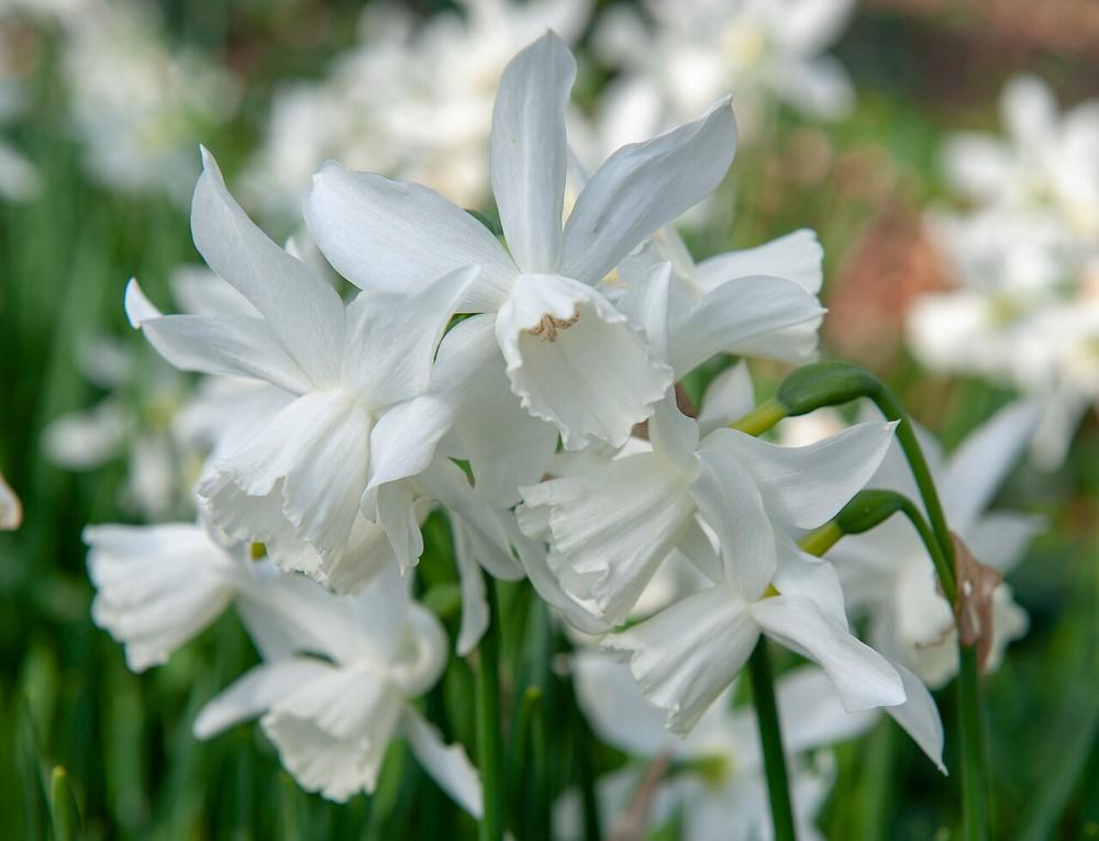 Narcisos de flores blancas