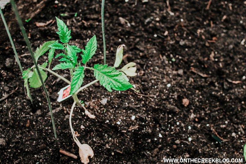 Tomato plant in the garden!