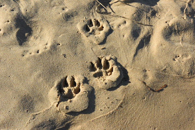 paw prints in sand; dog feet; pawprints