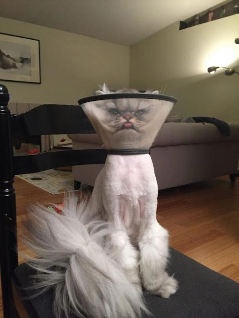 25 funny animals that have returned from the vet, whose appearance speaks for itself
