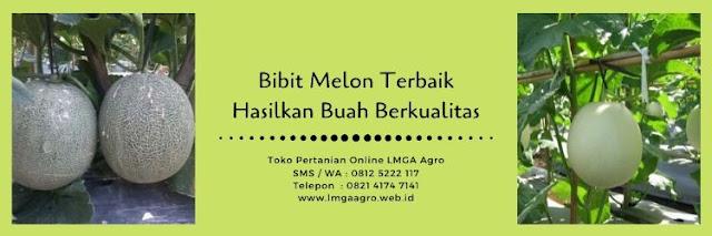 benih melon,bibit melon,budidaya melon,buah melon,usaha pertanian,usaha tani,petani,pertanian,lmga agro