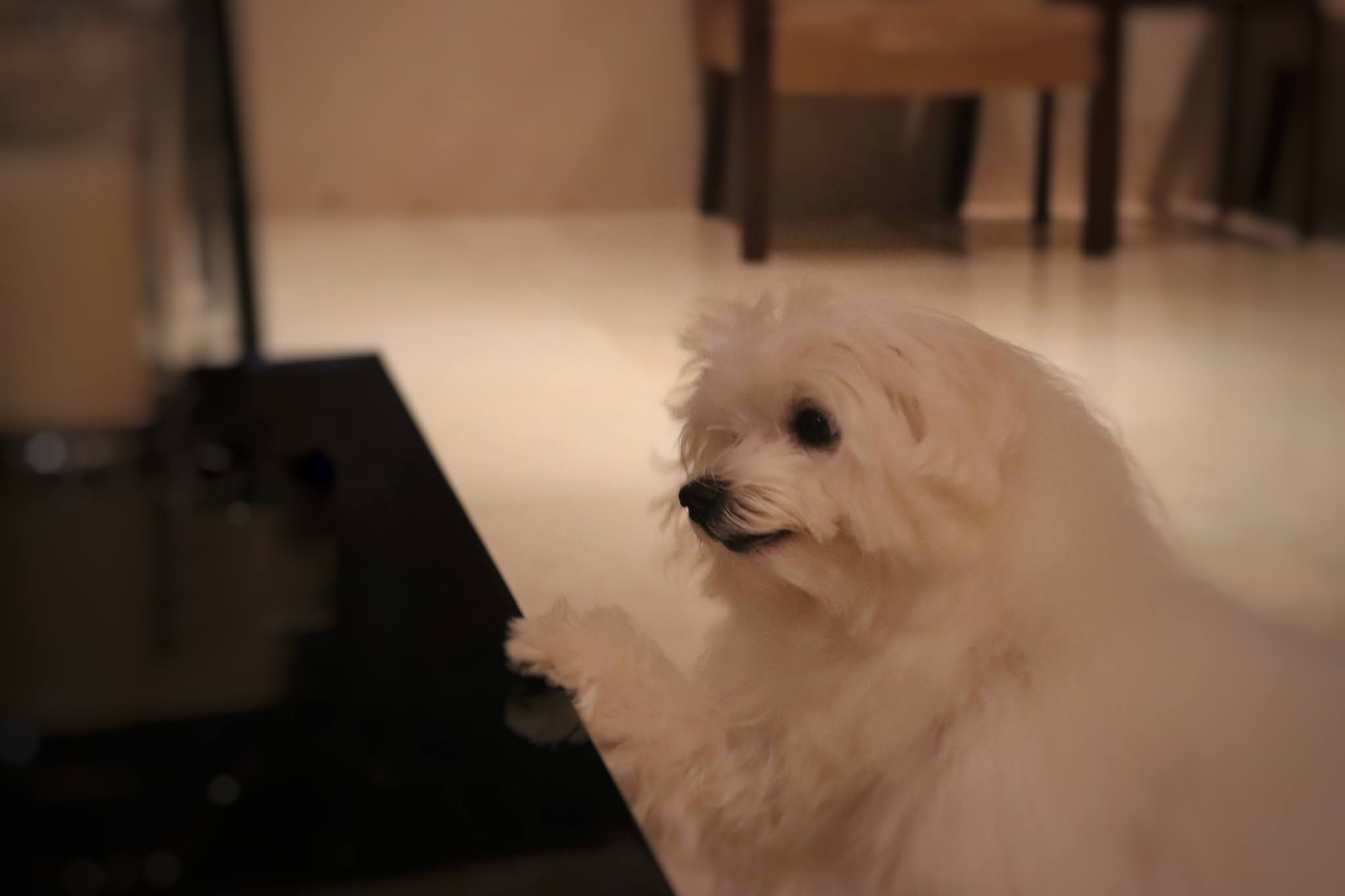 Stop Dogs From Jumping Up Onto Table