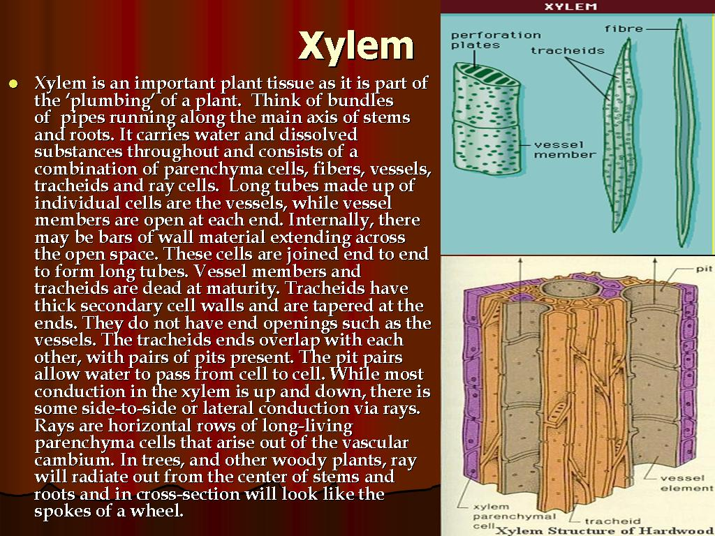 Complex Tissues Xylem Phloem The Saif S World