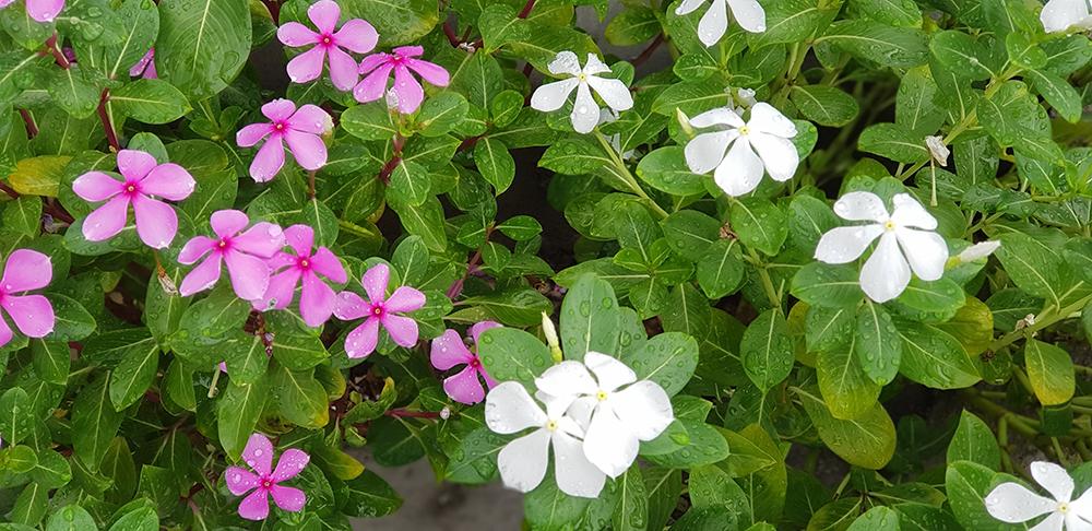 ต้นแพงพวย สีชมพูและสีขาว