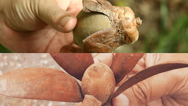 biji tengkawang borneo tallow nut